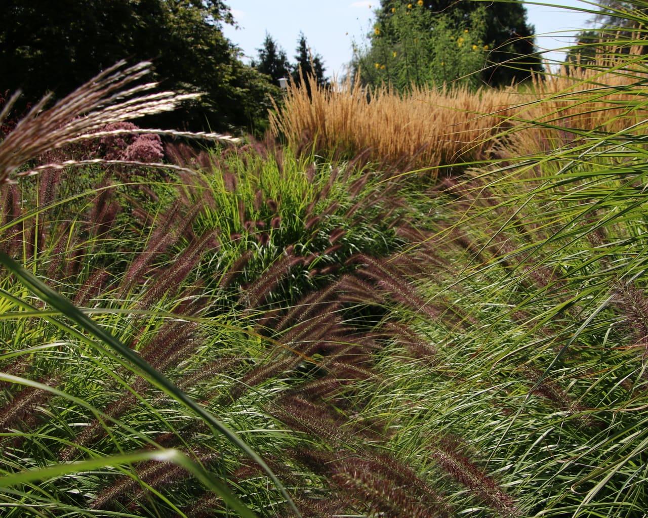 Gräsergarten im ega Park, Planung Petra Pelz 2014, Pennisetum viridescens und Calamagrostis acutiflora Karl Foerster