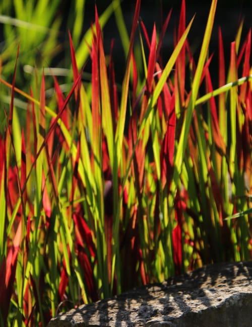 Imperata cylindrica Red Baron Blutgras, Gras für frische Standorte