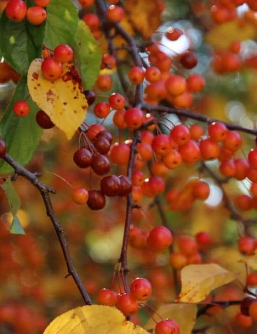 Der Zierapfel Malus hat nicht nur schöne Früchte im Herbst, sondern auch eine tolle gelbe Laubfärbung