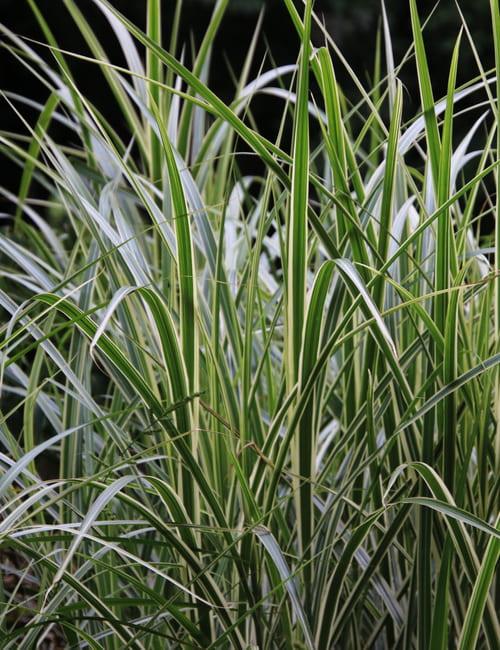 Miscanthus sinensis Variegatus - gestreiftes Chinaschilf, Gras für frische Standorte