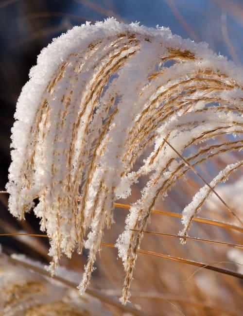 Miscanthus sinensis Chinaschilf, Schnee