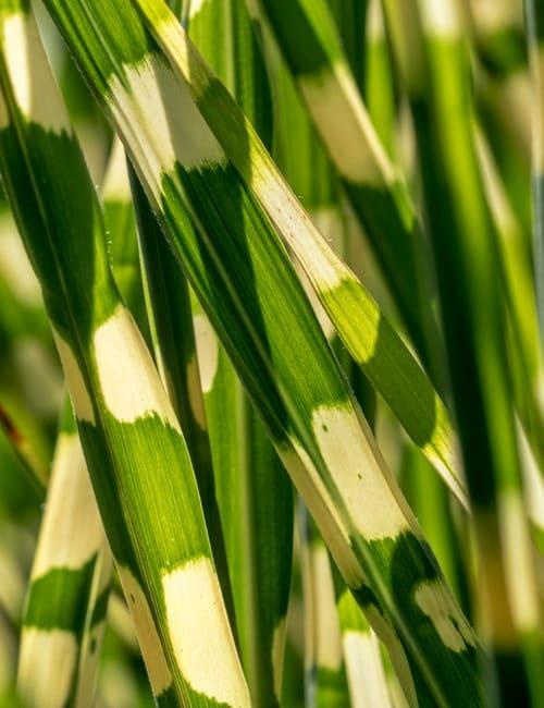 Miscanthus sinensis Zebrinus Zebragras, Gras für frische Standorte