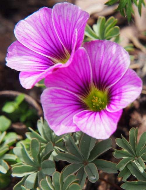 Oxalis adenophylla zum Verwildern, Von Anna Gratys Lizenzfreie Stockfotonummer: 1113120932