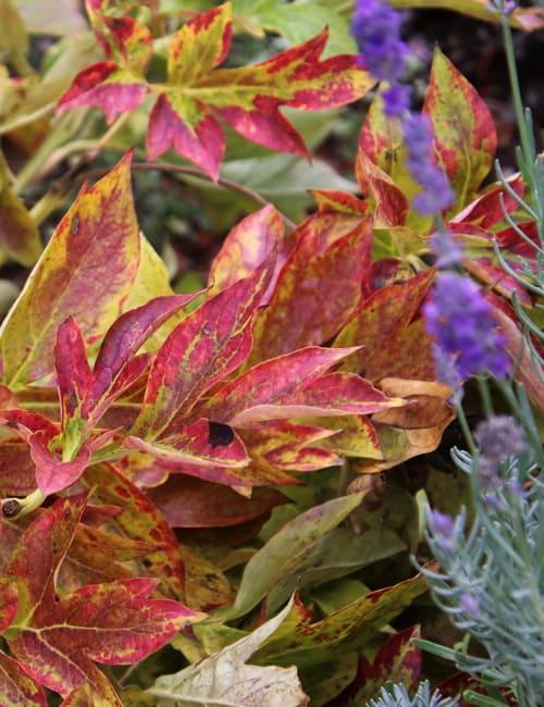 Pfingstrosen haben schönes Laub, das sich von Gelb über Rot bis zu Violett verfärbt