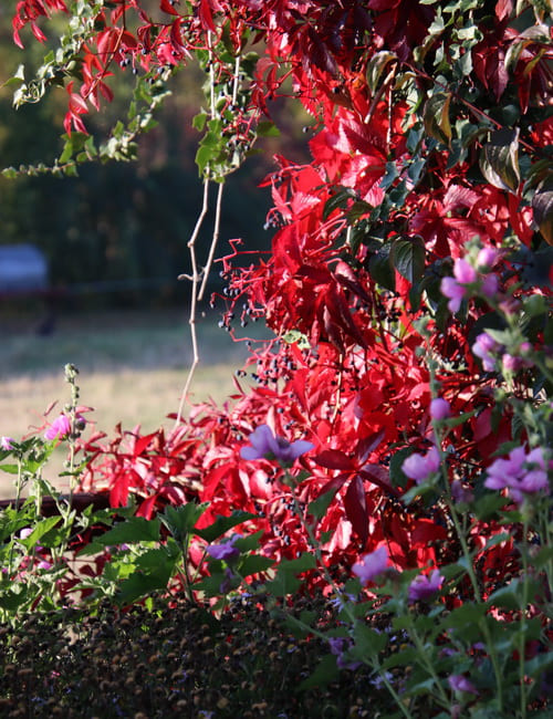 Bekannt für sein spektakuläres Rot im Herbst ist der Wilde Wein, Parthenocissus quinqefolia