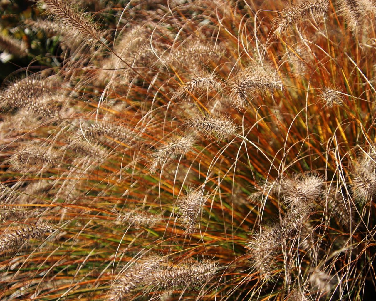 Herbstfärbung des Lampenputzergrases, Pennisetum alopecoroides