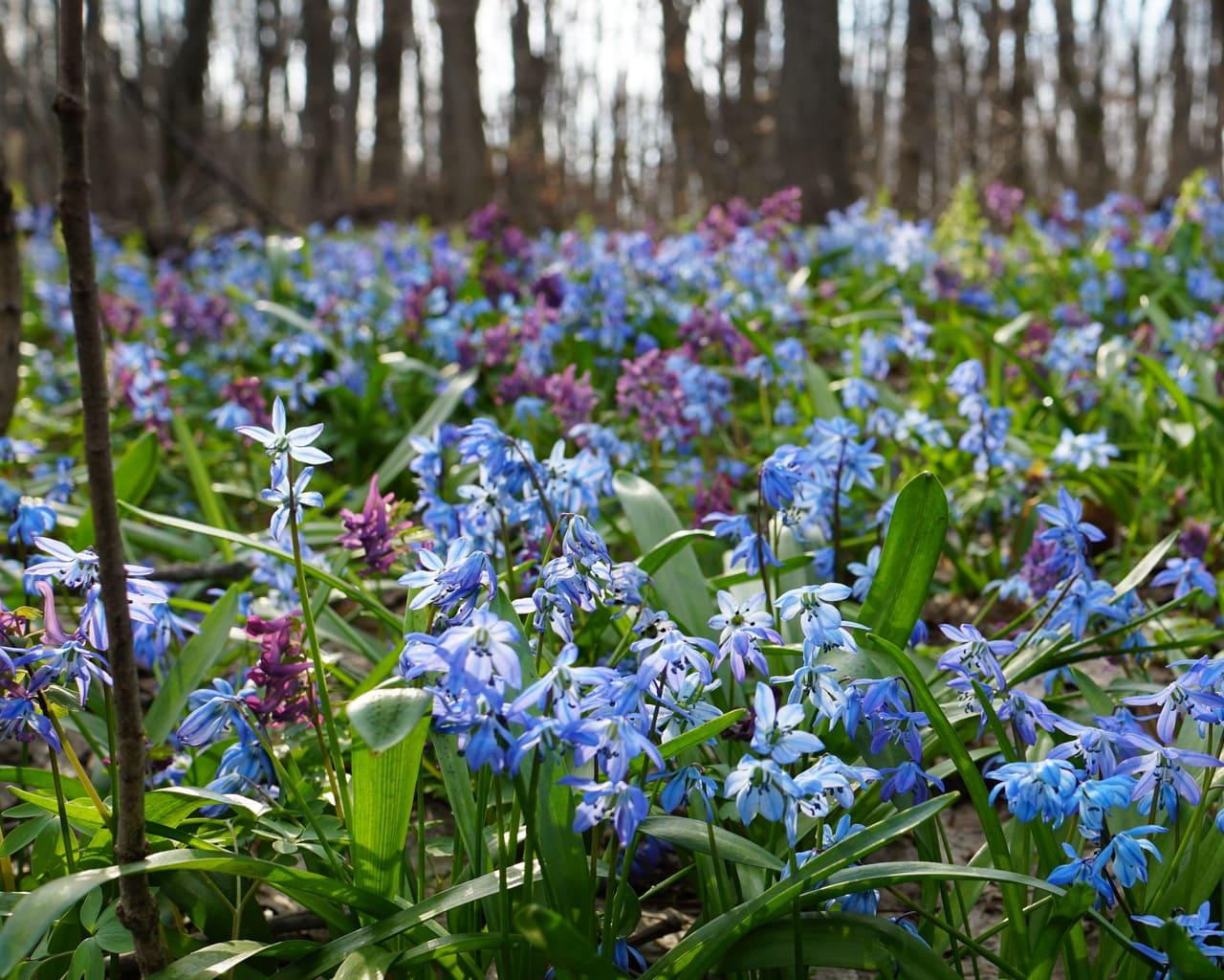 Verwilderung im Wald mit Blausternen, Scilla und Lerchensporn, Corydalis, Von Vadim Ozz Lizenzfreie Stockfotonummer: 661626259