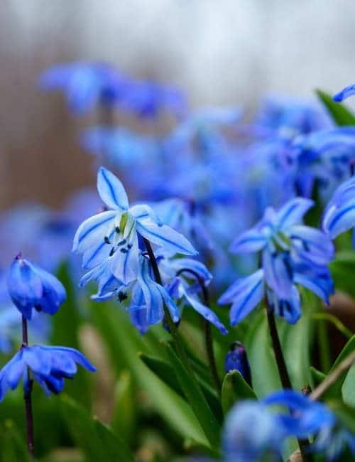 Blaustern, Scilla siberica zum Verwildern