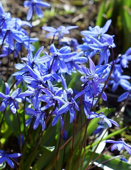 Blaustern, Scilla siberica zum Verwildern, Von ekawatchaow Lizenzfreie Stockfotonummer: 136835042