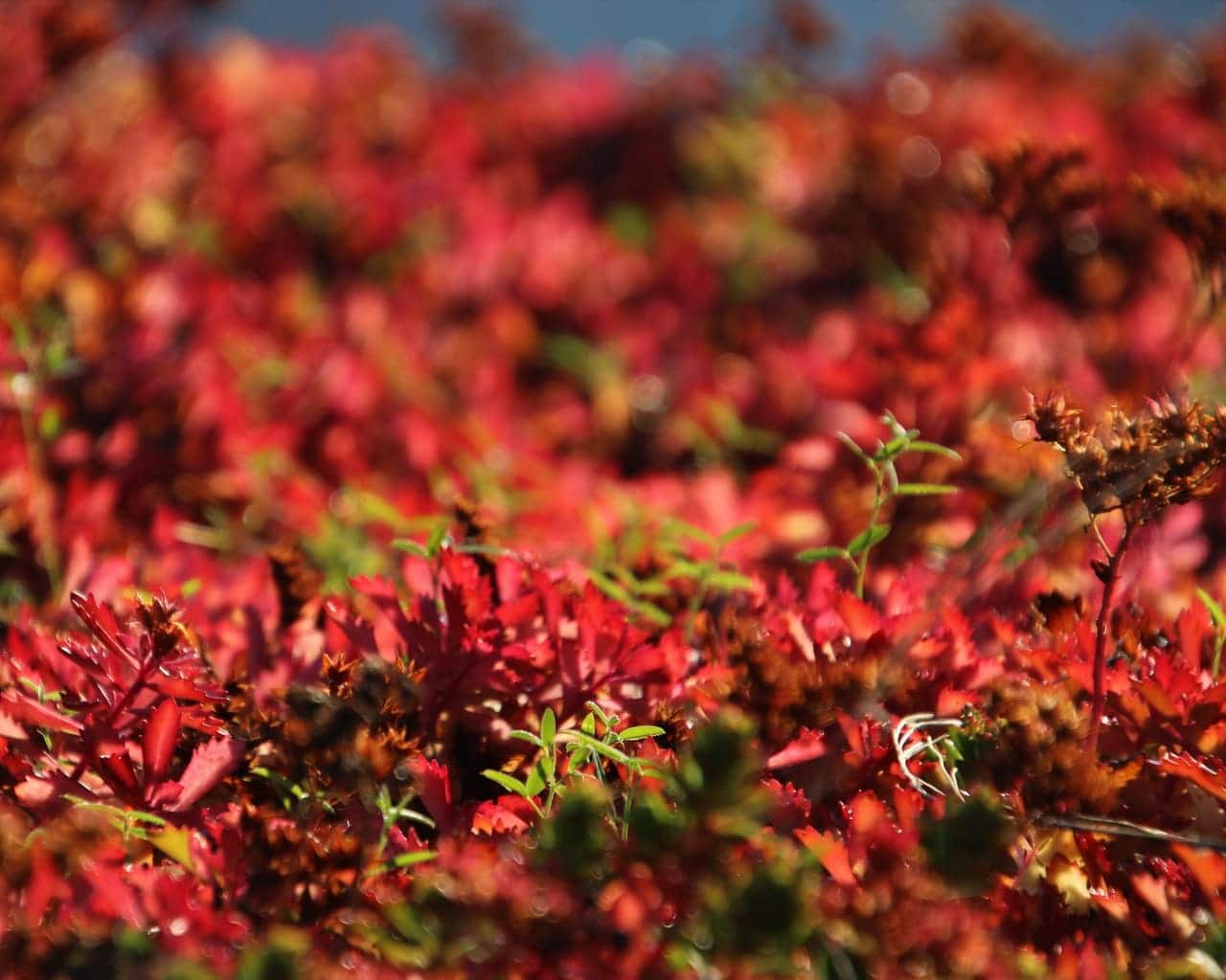 Sedum floriferum - Fette Henne - Herbstfärbung