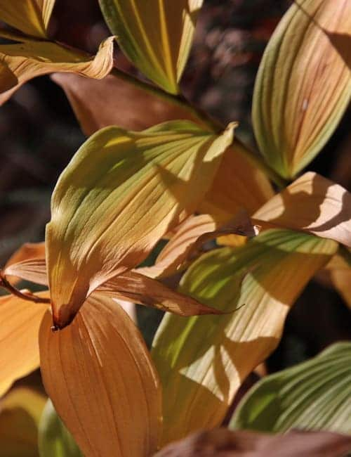 Salomonsiegel, Polygonatum odoratum und Polygonatum multiflorum verfärbt sich gelb im Herbst