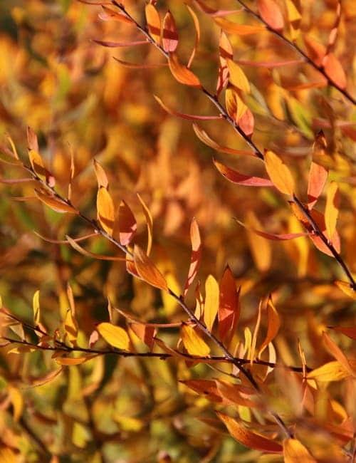 Spierstrauch - Spiraea arguta in Herbstfärbung