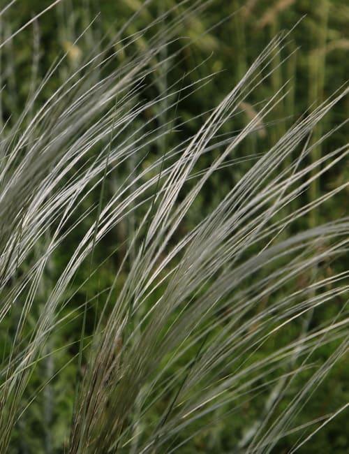 Stipa pennata Reiherfedergras Gras für trockenen Standort