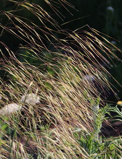 Stipa gigantea, Riesenreiherfedergras Blüte