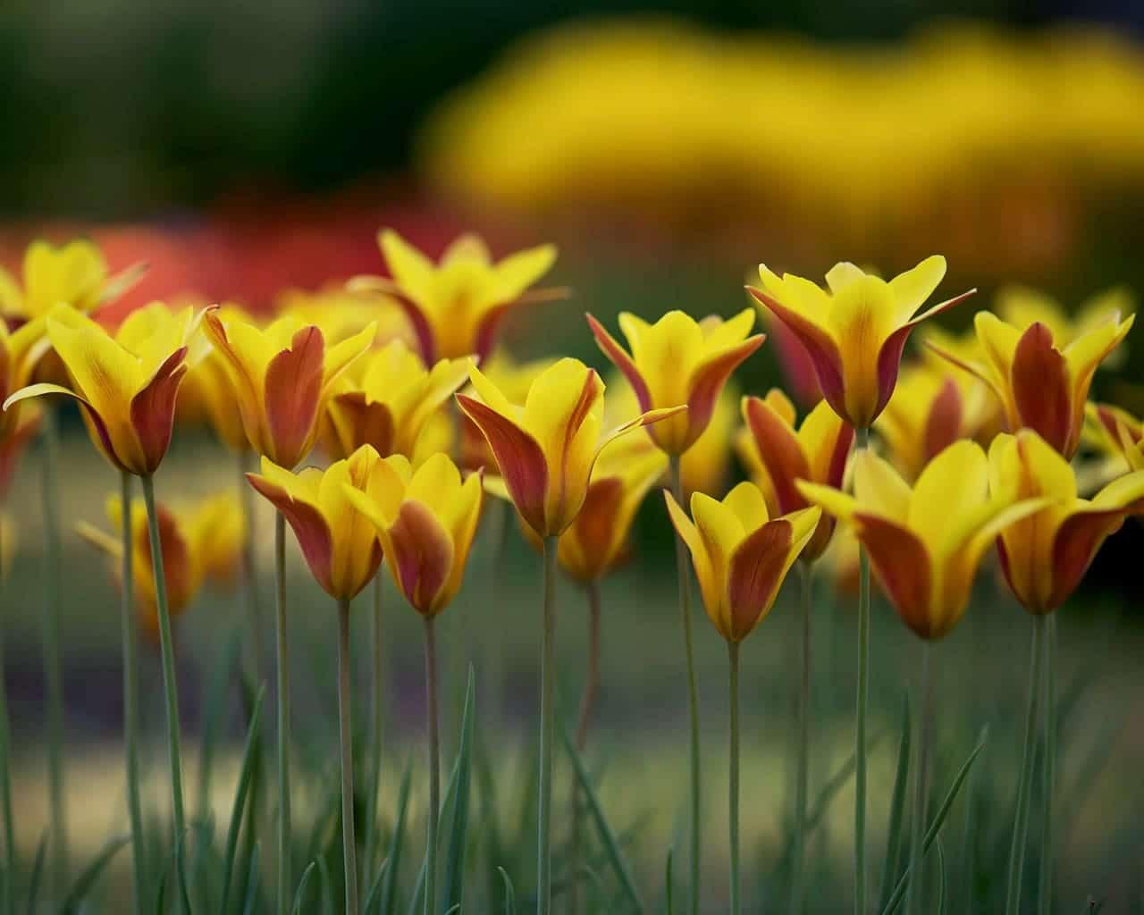 Tulpen die verwildern, hier Tulipa clusiana, die Damentulpe, Von O_Schmidt Lizenzfreie Stockfotonummer: 418629211