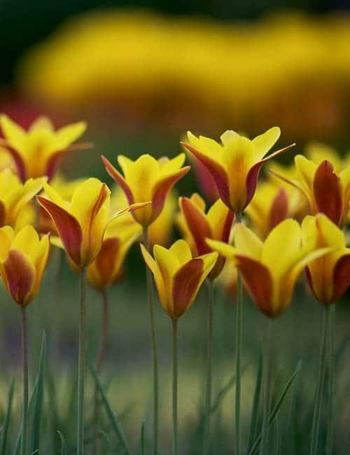 Tulpen zum Verwildern, Tulipa clusiana Cynthia, die Damentulpe, Von O_Schmidt Lizenzfreie Stockfotonummer: 418629211