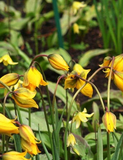 Tulpen zum Verwildern, Tulipa sylvestris , die elegante Weinbergtulpe