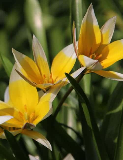 Tulpen zum Verwildern, Tulipa tarda, die Zwerg Stern Tulpe