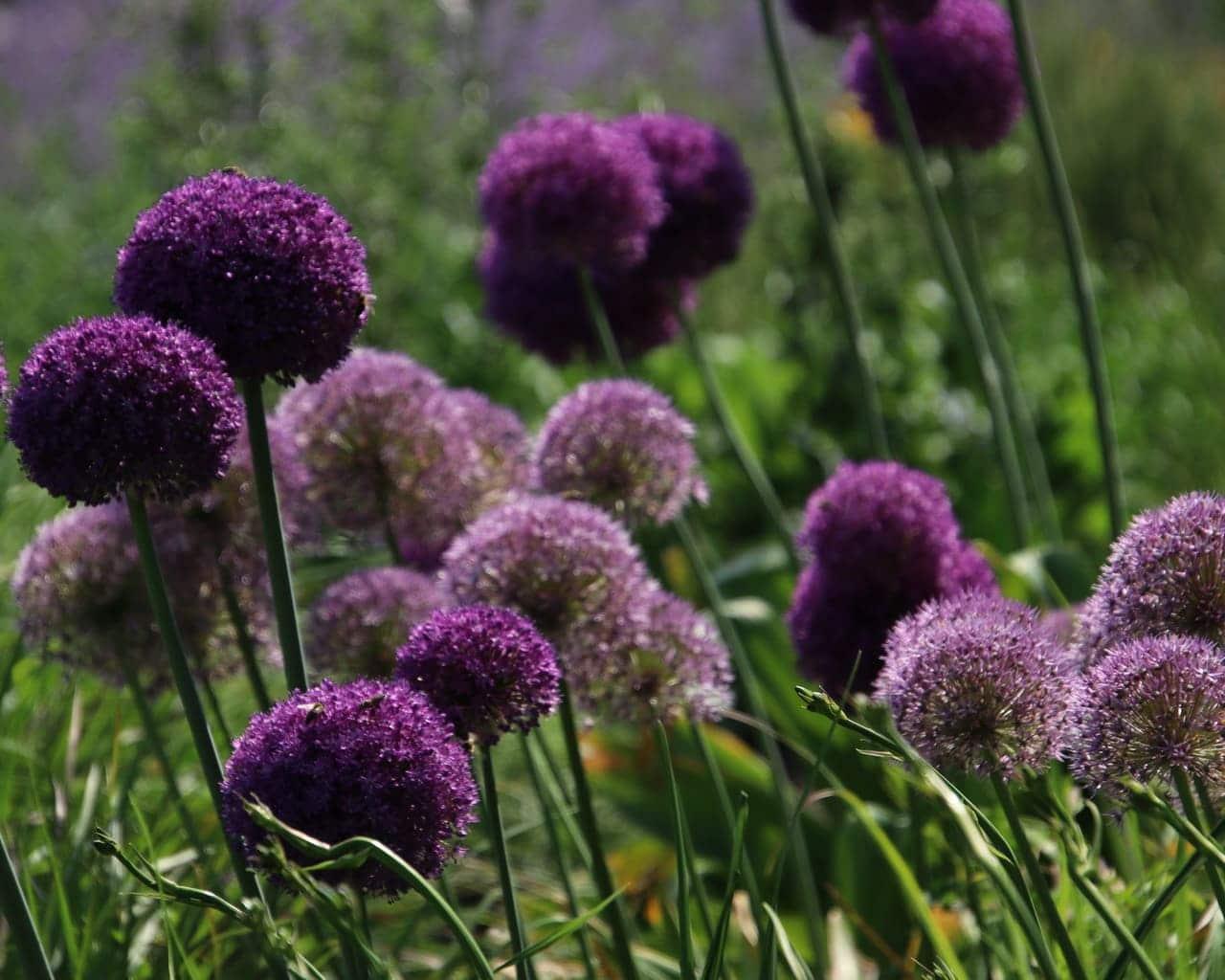 Zierlauch, Allium aflatunense verwildert im Garten