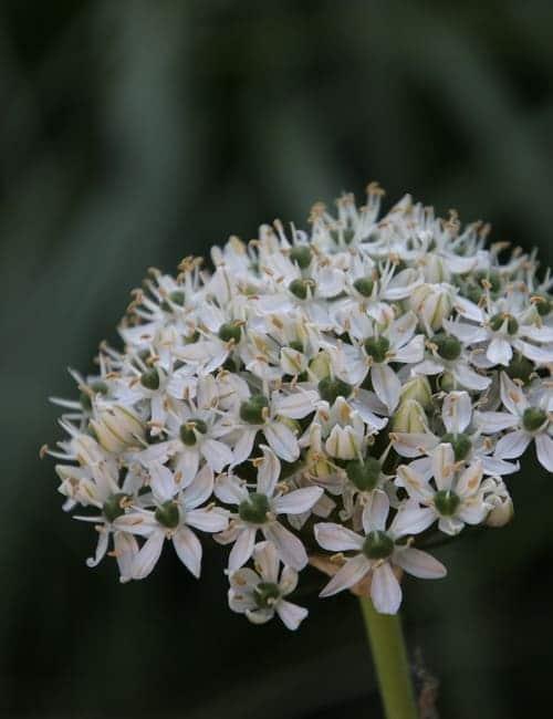 Schwarzlauch, Allium nigrum zum Verwildern