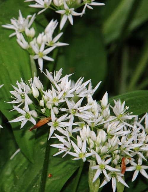 Bärlauch, Allium ursinum zum Verwildern