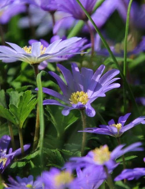 Frühlingsanemonen, Anemone blanda Blue Shade zum Verwildern
