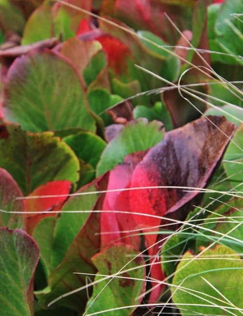 Bergenien, Bergenia cordifolia ist bekannt für eine intensive Herbstfärbung