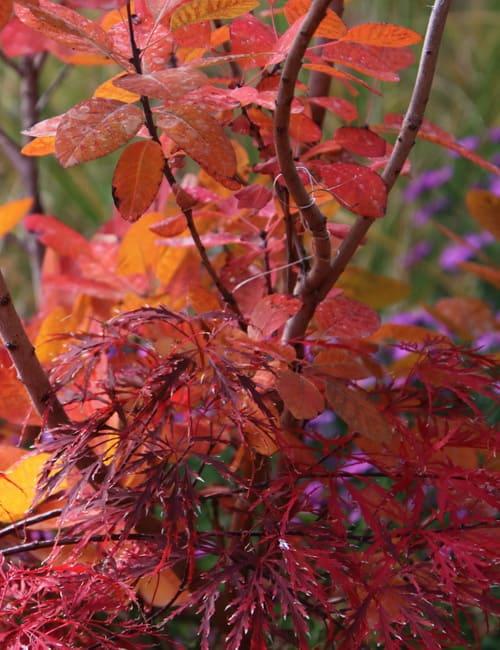 Laubfärbende Gehölze, Perrückenstrauch Cotinus coggygria und Japanischer Ahorn