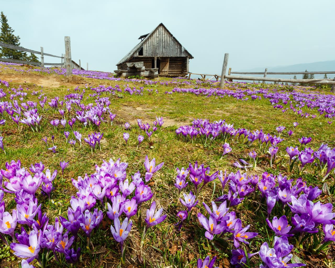 Gartenkrokus Crocus vernus in den Karpaten, Von Landscape Nature Photo Lizenzfreie Stockfotonummer: 1076272793