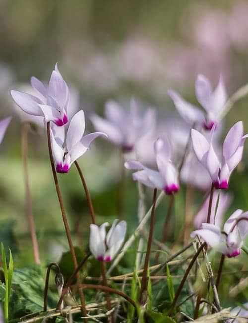 Alpenveilchen, Cyclamen hederifolium zum Verwildern, Von Suprun Vitaly Lizenzfreie Stockfotonummer: 630597230