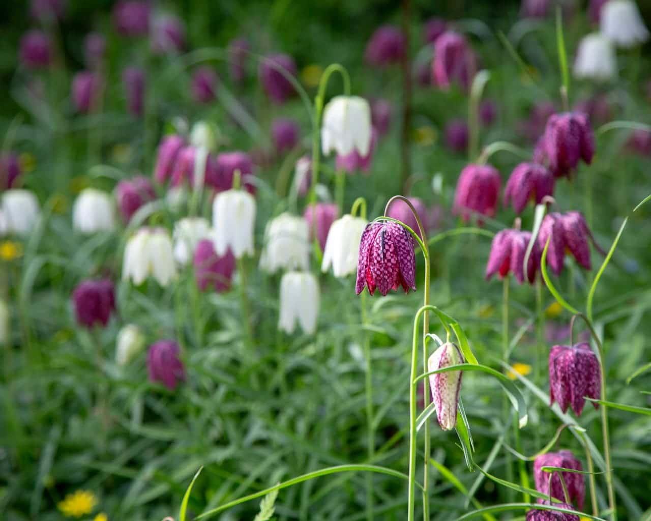 Schachbrettblumen Mischung, Fritellaria meleagris, Von Anna Partington Lizenzfreie Stockfotonummer: 1127433137