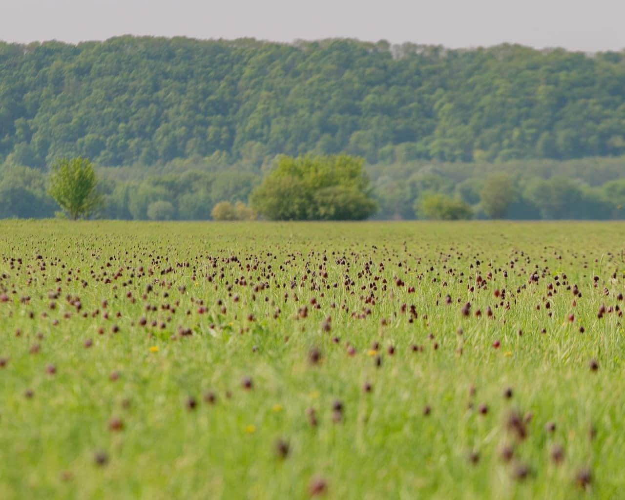 Schachbrettblumen Wiese, Fritellaria meleagris, Verwilderung in der Landschaft, Von Alexey Yudenkov Lizenzfreie Stockfotonummer: 1149539885