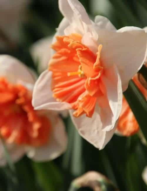 Großkronige Narzisse, Narcissus Pink Pride eignet sich zum Verwildern