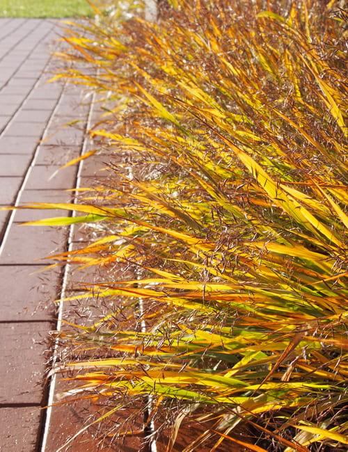 Hakonechloa macra, das Japanwaldgras in gelber Herbstfärbung