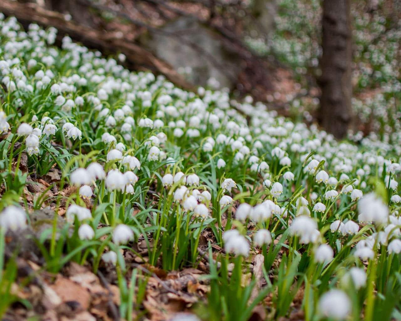 Frühlingsknotenblume verwildert in der Natur, Leucojum vernum, Von McoBra89 Lizenzfreie Stockfotonummer: 1139104286