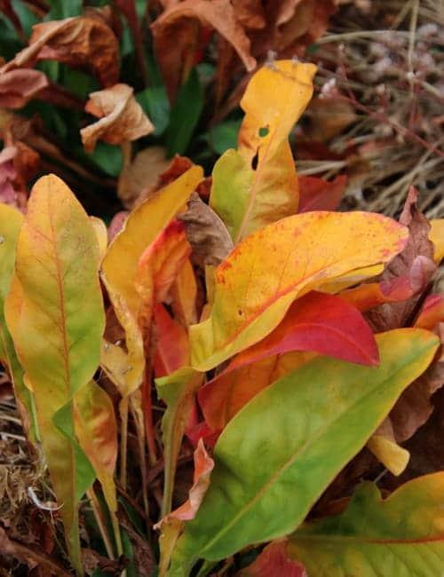 Wie ein Papagei so bunt färben sich die Blätter des Strandflieder, Limonium latifolium