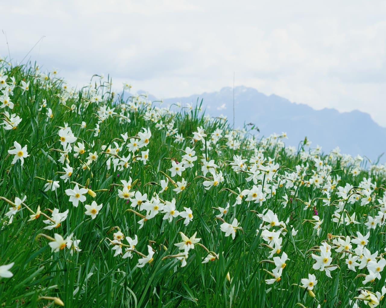 Dichternarzisse, Narcissus poeticus in der natürlichen Landschaft, Von Gherzak Lizenzfreie Stockfotonummer: 1101887909