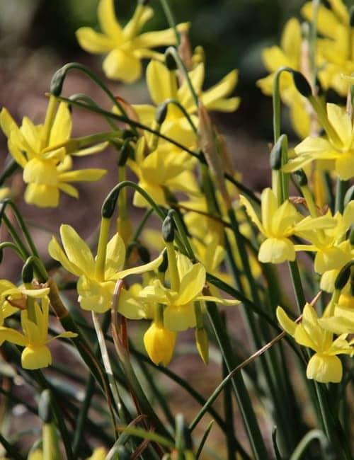 Kleinkronige Narzisse, Narcissus triandrus Hawera eignet sich zum Verwildern