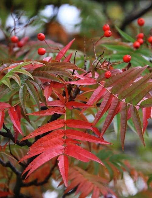 Sorbus commixta Dodong - Eberesche , Fruchtschmuck und Herbstfärbung