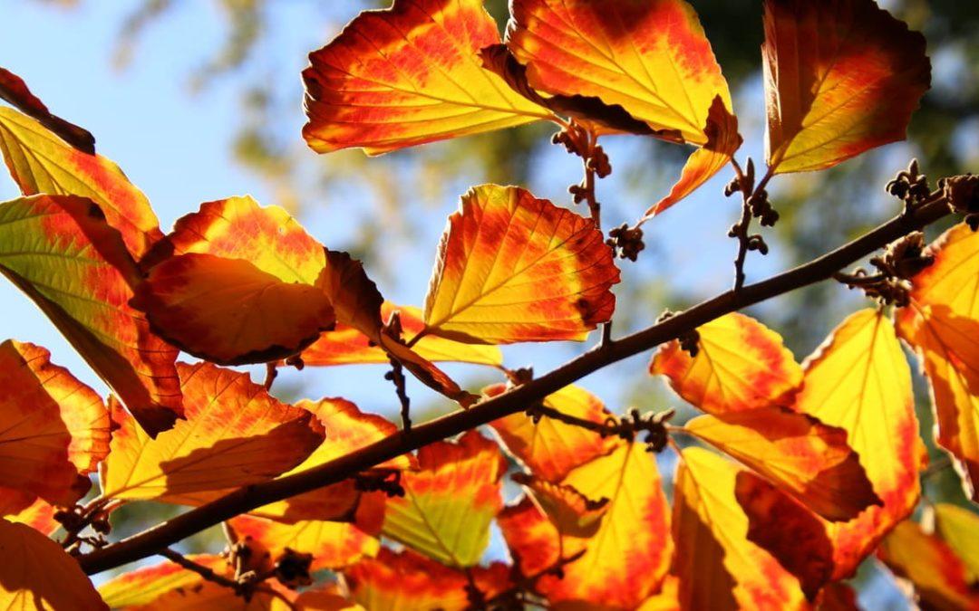 Gestalten mit Laubfärbung im Garten