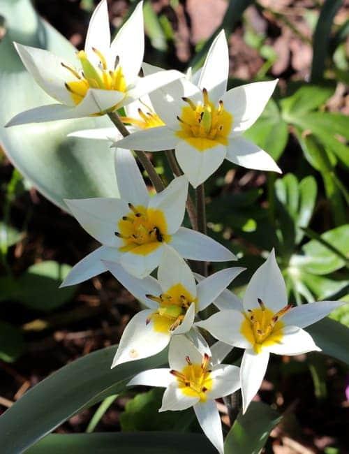 Tulpen zum Verwildern, Tulipa turkestanica die Turkestanische Tulpe, Von Natalia Greeske Lizenzfreie Stockfotonummer: 1063755374