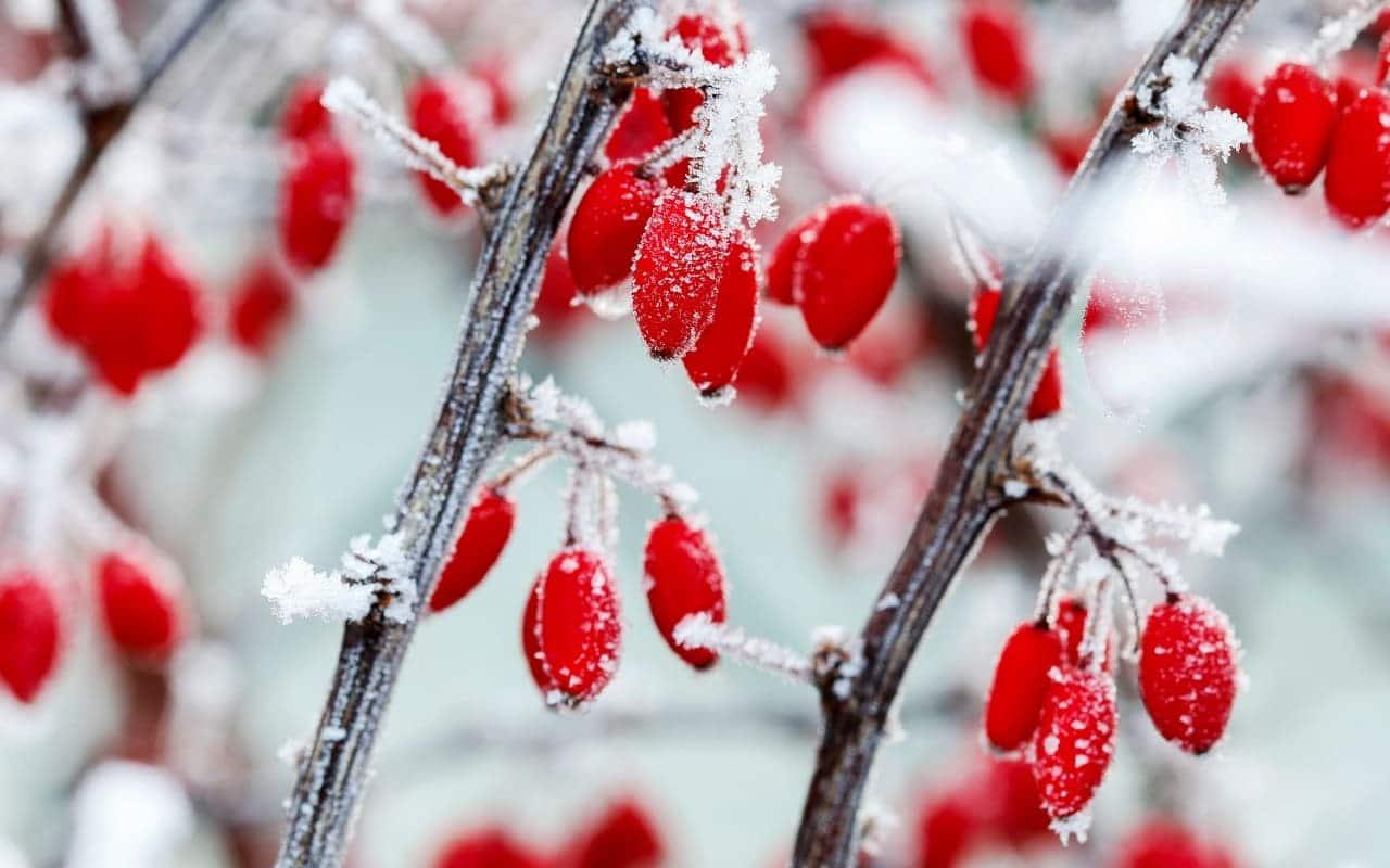 Die Heckenberberitze Berberis thunbergii im Schnee, Fruchtschmuck, Früchte, Petra Pelz Design natürlich, Silent Island