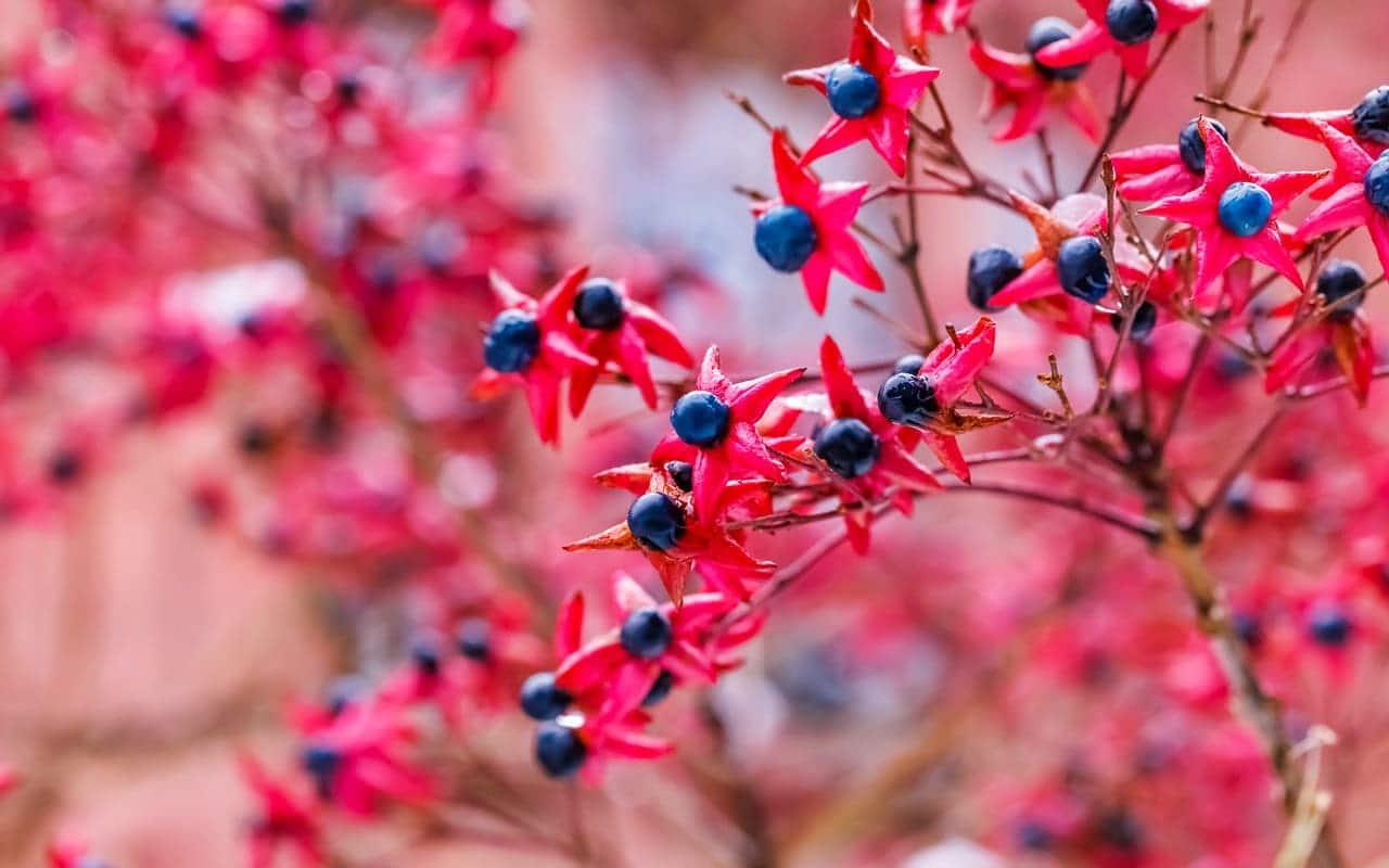 Der Losbaum, Clerodendrum trichotomum mit exotisch anmutenden Früchten, Fruchtschmuck, Früchte, Petra Pelz Design natürlich, Silent Island
