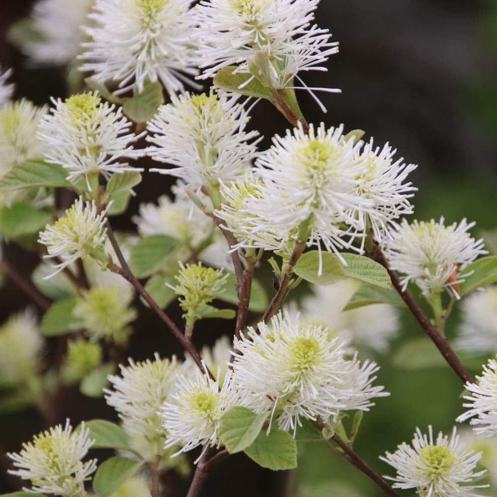 Forthergilla gardenii, Federbuschstrauch