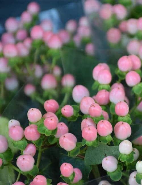 Das Johanniskraut Hypericum andraesmum Sweet Romance wird für die Floristik verwendet, Fruchtschmuck, Früchte, Petra Pelz Design natürlich, Silent Island