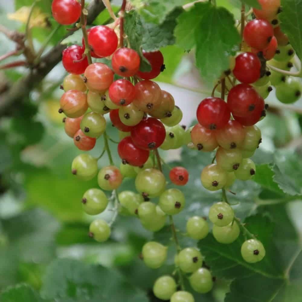 Rote Johannisbeeren für den Naschgarten