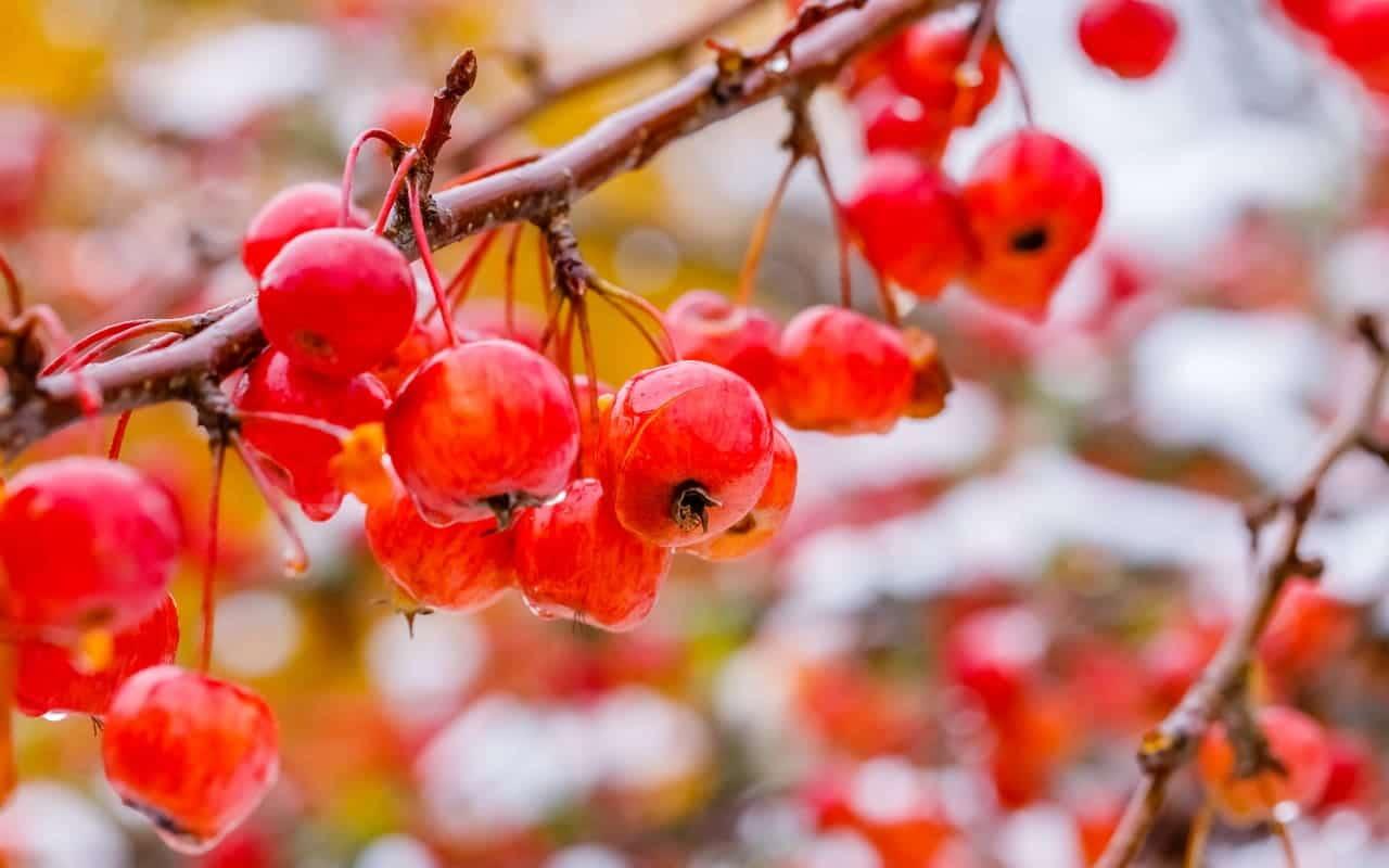 Der Zierapfel Malus Evereste hat lange haftende Früchte, Fruchtschmuck, Früchte, Petra Pelz Design natürlich, Silent Island
