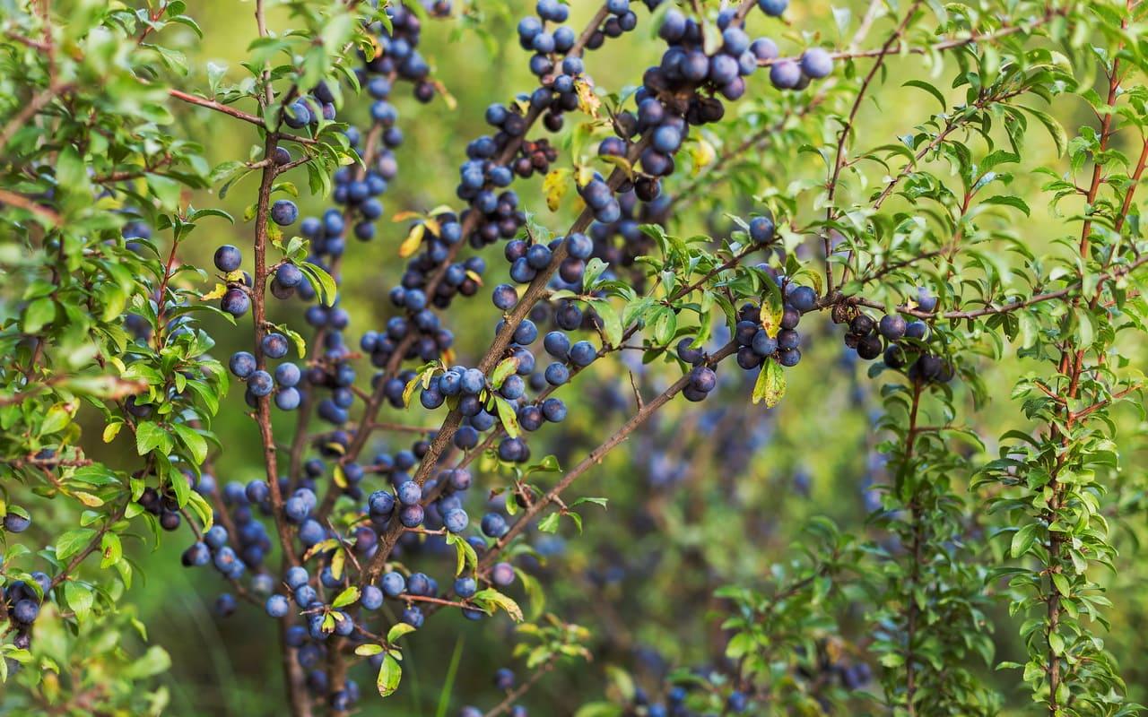 Die Schlehe, Prunus spinosa, Fruchtschmuck, Früchte, Petra Pelz Design natürlich, Silent Island