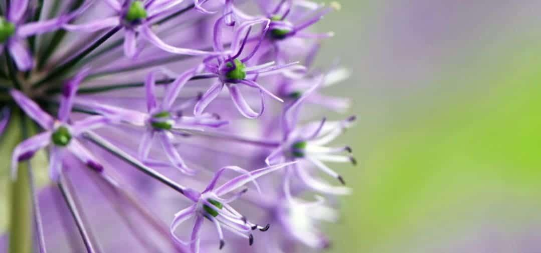 Allium – Zierlauch im Garten