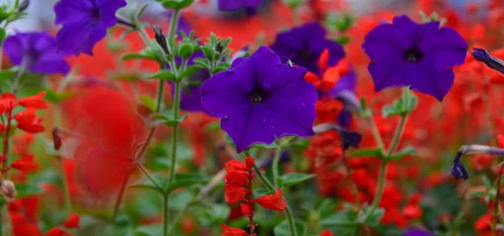 Sommerblumen- Ideen für Balkon und Terrasse
